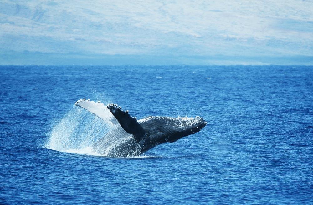 Baleia em Maui no Hawaii