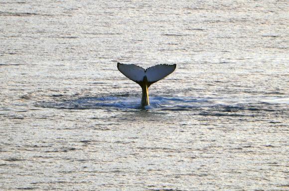 Baleia em Niue