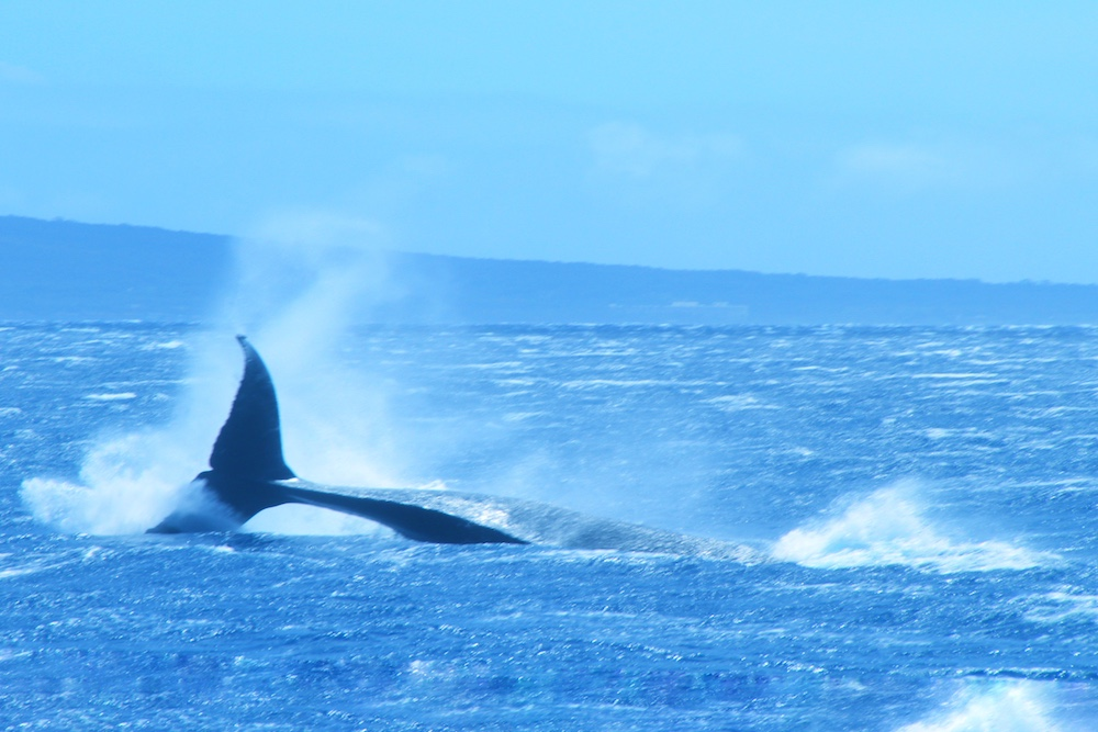 Baleias Jubarte em Maui no Hawaii