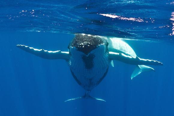 Baleias Jubarte em Niue