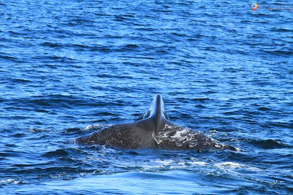Baleias Nova Zelândia (24)