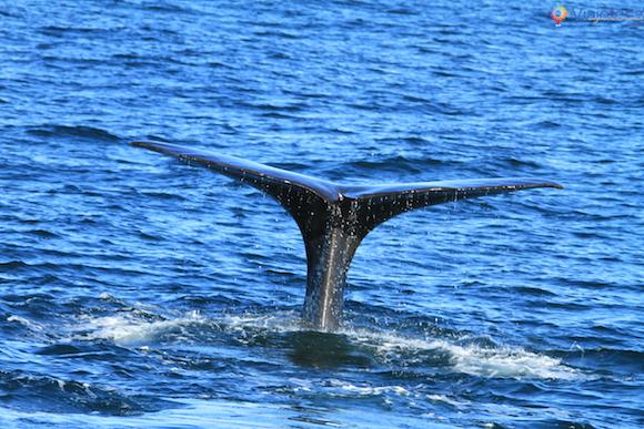 Baleias Nova Zelândia (29)