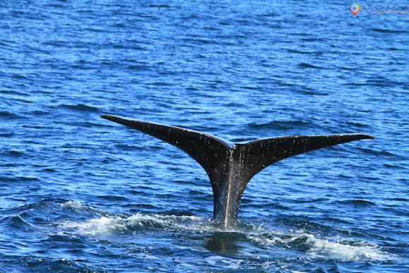 Baleias Nova Zelândia (30)