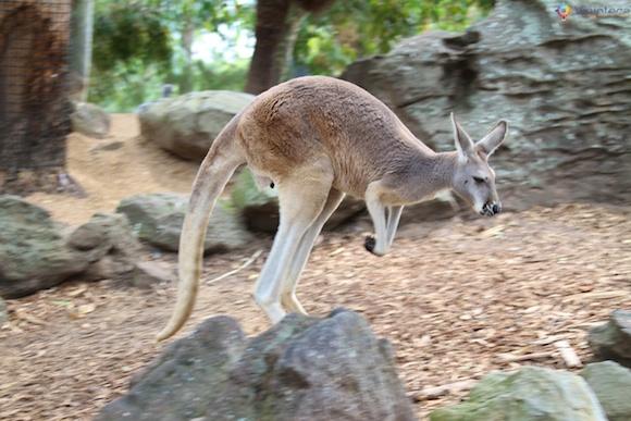 Canguru no Taronga Zoo - Zoologico de Sydney