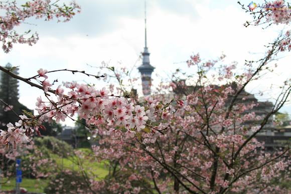 Cerejeiras em Auckland (6)