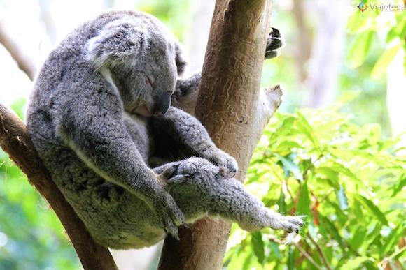 Coala Taronga Zoo - Zoologico de Sydney