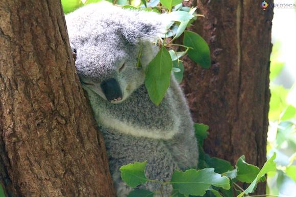 Coala no Taronga Zoo - Zoologico de Sydney