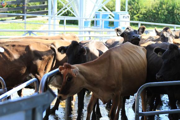 Fazenda de Gado Jersey na Nova Zelândia