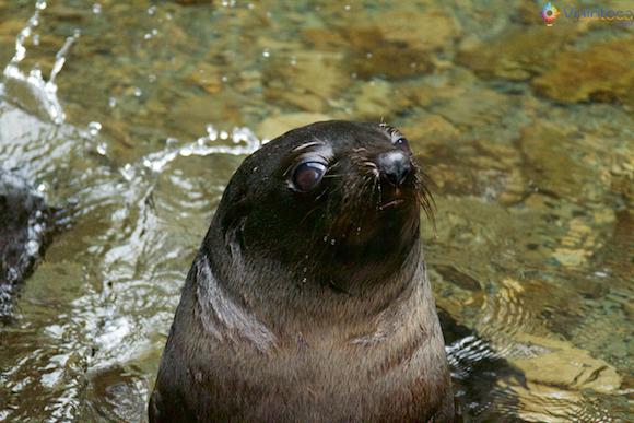 Filhote de Leão Marinho na Nova Zelândia