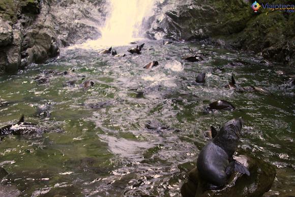 Filhotes de Leão Marinho Cascata em Kaikoura (2)