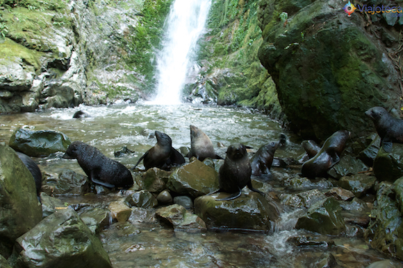 Filhotes de Leão Marinho Cascata em Kaikoura