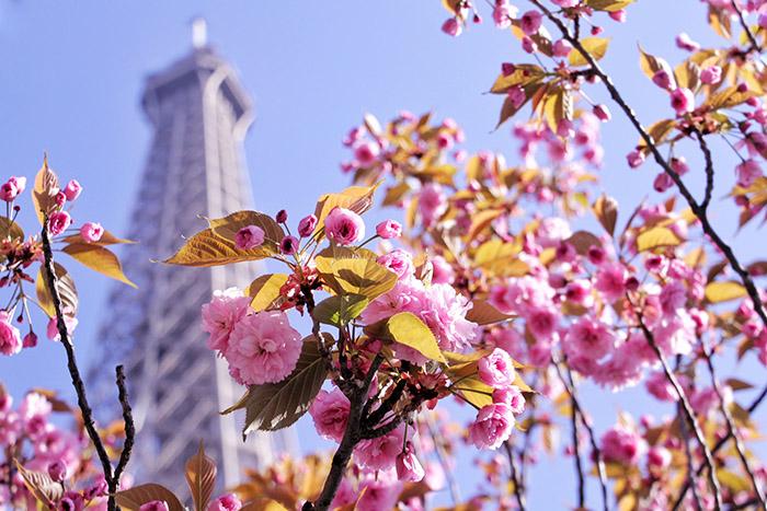 Florada das Cerejeiras em Paris Torre Eiffel