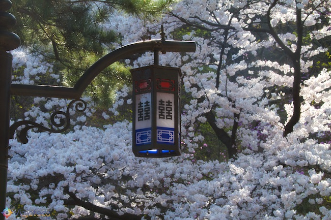 Florada das Cerejeiras em Seul