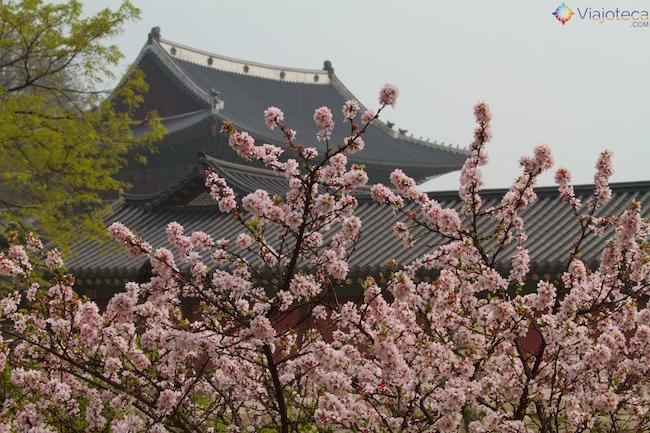 Florada das cerejeiras na coréia do sul