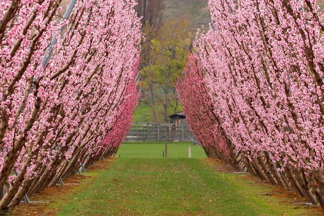 Florada das Cerejeiras na Nova Zelândia
