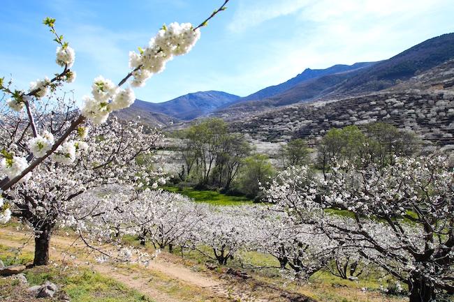 Florada Cerejeiras na Espanha