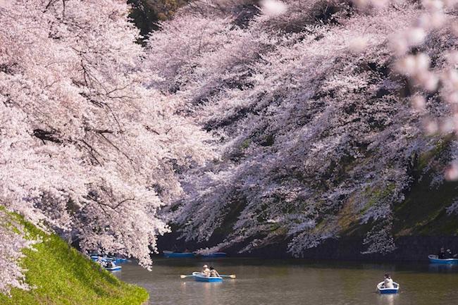 Florada Cerejeiras no Japão
