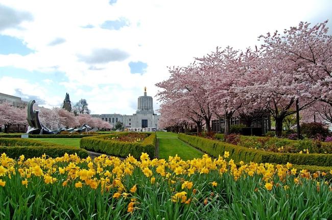 Florada das Cerejeiras em Salem OR