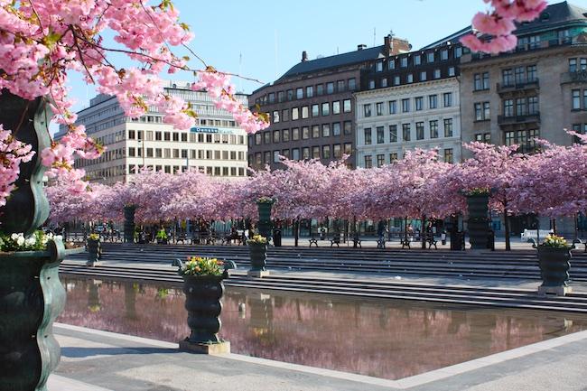Florada das cerejeiras em Estocolmo
