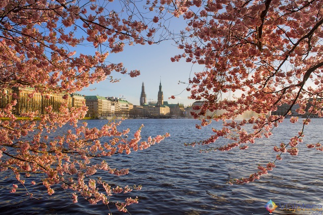 Florada das cerejeiras na Alemanha