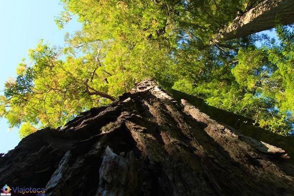 Floresta de Sequóias em Rotorua 10