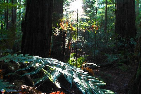 Floresta de Sequóias em Rotorua 13