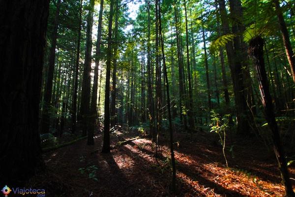 Whakarewarewa Forest : Floresta de Sequóias em Rotorua