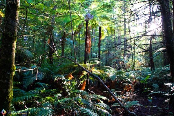 Floresta de Sequóias em Rotorua 16