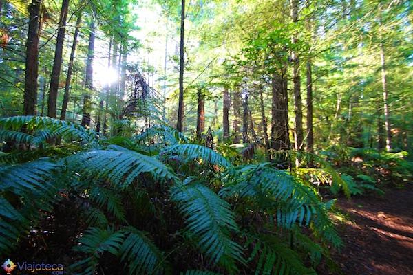 Floresta de Sequóias em Rotorua 17