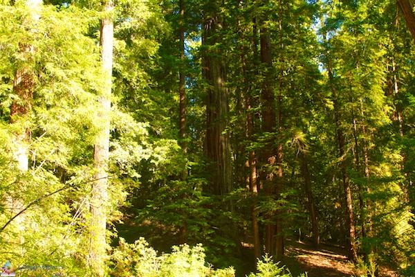 Floresta de Sequóias em Rotorua 9