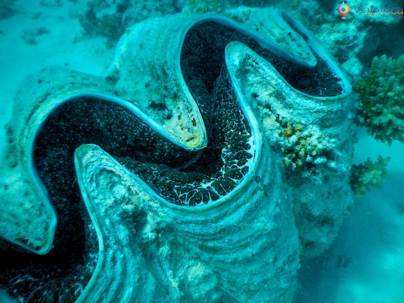 Conchas gigantes Polinésia em Aitutuaki nas Ilhas Cook