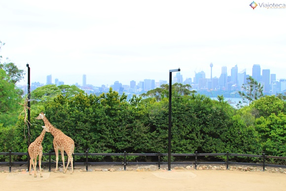 Girafas no Taronga Zoo - Zoologico de Sydney