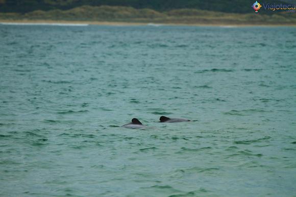 Golfinhos em Curio Bay