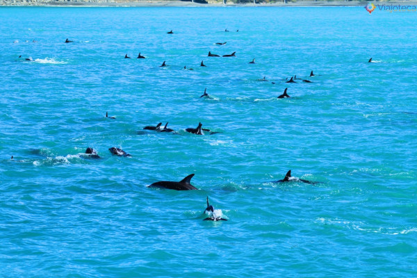 Golfinhos na Nova Zelândia - Kaikoura Dusky 122