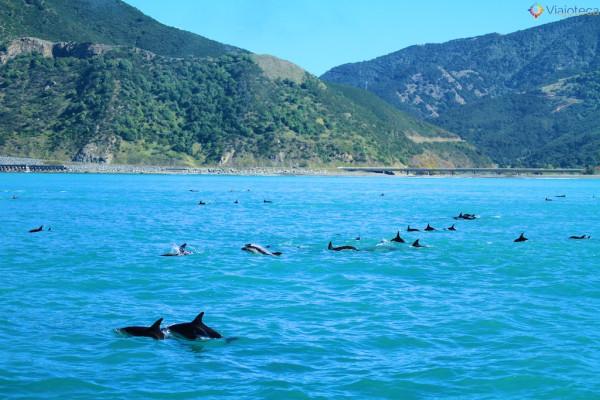 Golfinhos na Nova Zelândia - Kaikoura Dusky 123