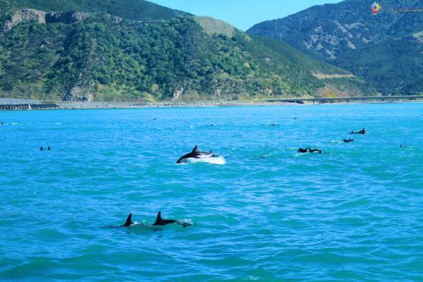 Golfinhos na Nova Zelândia - Kaikoura Dusky 124