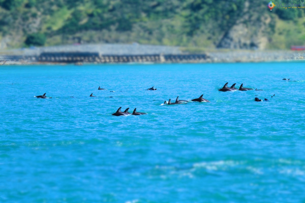 Golfinhos na Nova Zelândia - Kaikoura Dusky 125