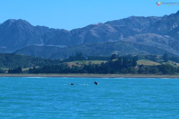 Golfinhos na Nova Zelândia - Kaikoura Dusky 128