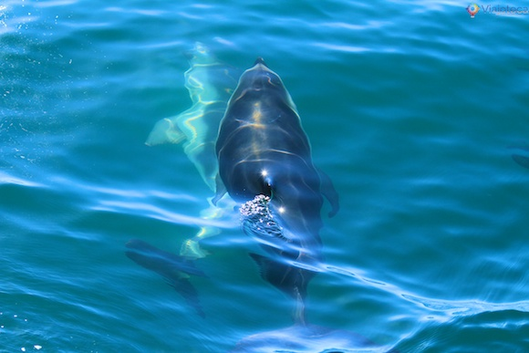 Golfinhos na Nova Zelândia - Kaikoura Dusky 13