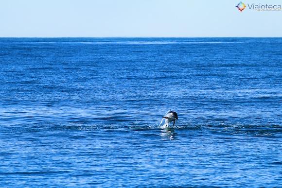Golfinhos na Nova Zelândia - Kaikoura Dusky 18
