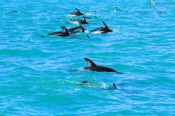 Golfinhos na Nova Zelândia - Kaikoura Dusky 39