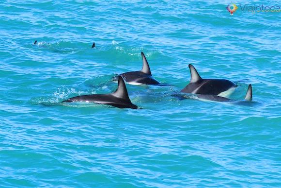 Golfinhos na Nova Zelândia - Kaikoura Dusky 48