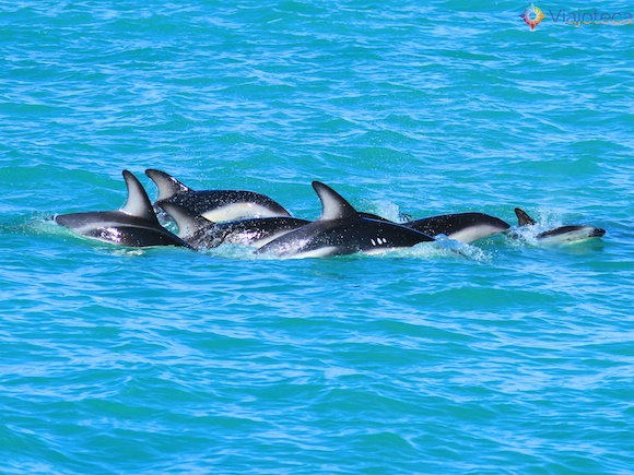 Golfinhos na Nova Zelândia - Kaikoura Dusky 49