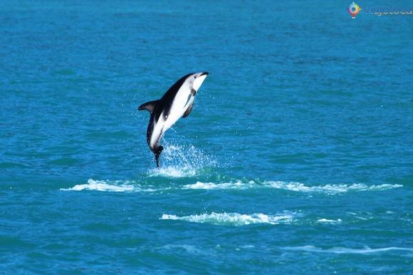Golfinhos na Nova Zelândia - Kaikoura Dusky 55