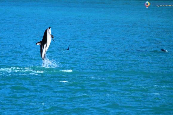 Golfinhos na Nova Zelândia - Kaikoura Dusky 57