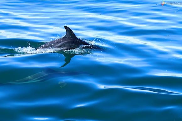 Golfinhos na Nova Zelândia - Kaikoura Dusky 6