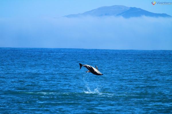 Golfinhos na Nova Zelândia - Kaikoura Dusky