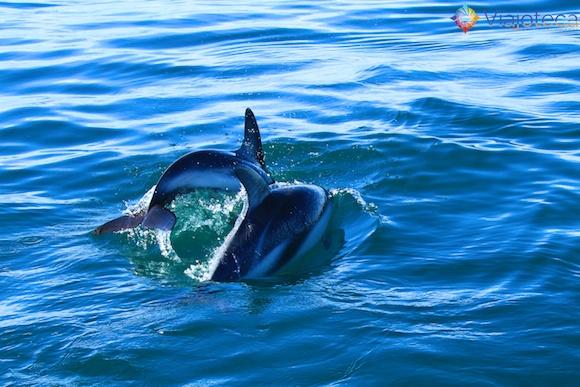 Golfinhos na Nova Zelândia - Kaikoura Dusky 7