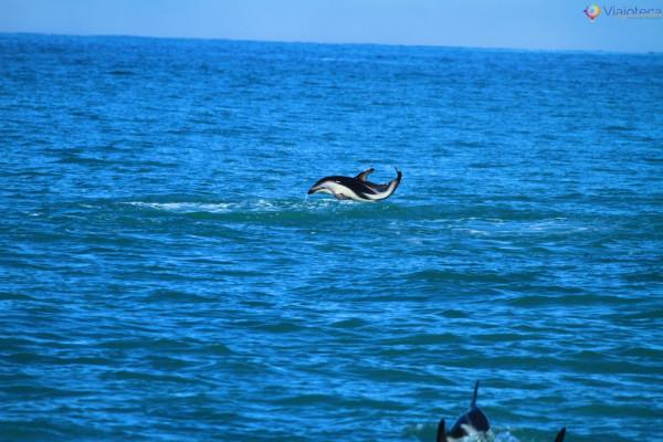 Golfinhos na Nova Zelândia - Kaikoura Dusky 94