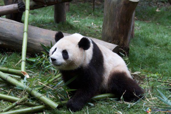 Pandas em Chengdu